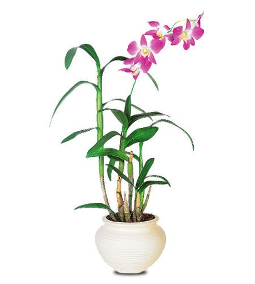 Dramatic Orchid Plant