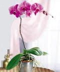 Exotic Phalaenopsis Orchid Plant